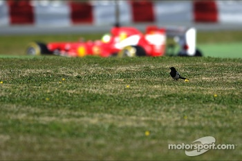 Felipe Massa, Ferrari F138 passes a bird in the grass