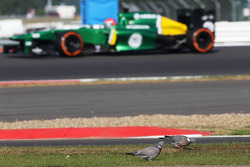 Alexander Rossi, Caterham CT03 Test Driver approaches pigeons feeding by the side of the circuit