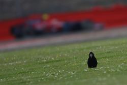 Sebastian Vettel, Scuderia Toro Rosso, STR03 and a crow