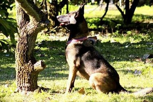 NASCAR utilizará cães farejadores que detectam presença de Covid-19 em Atlanta
