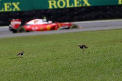 Кими Райкконен, Ferrari SF16-H, и две птицы