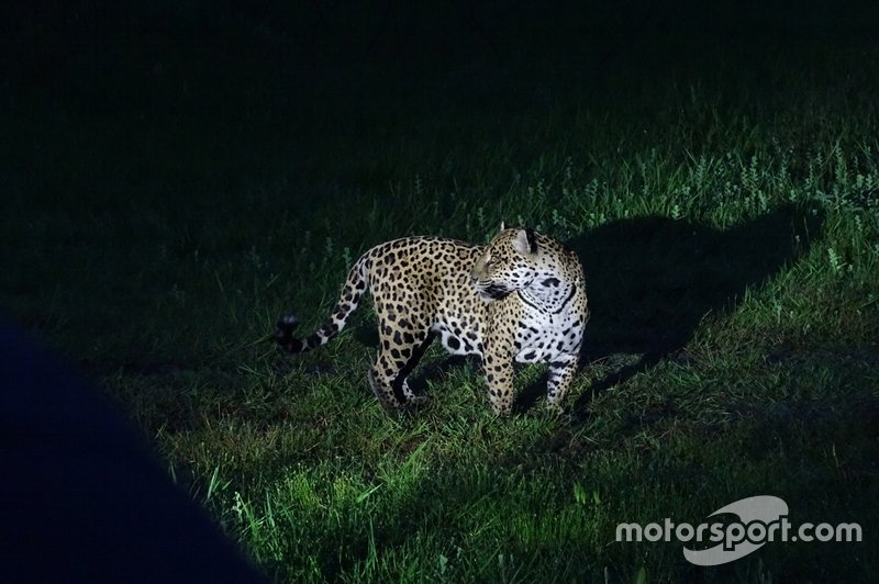 Oncafari Project – wild jaguar uses cover of darkness to return to the site of a kill it made the previous day