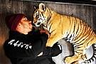 Hamilton vira símbolo de ONG que cuida de tigres maltratados