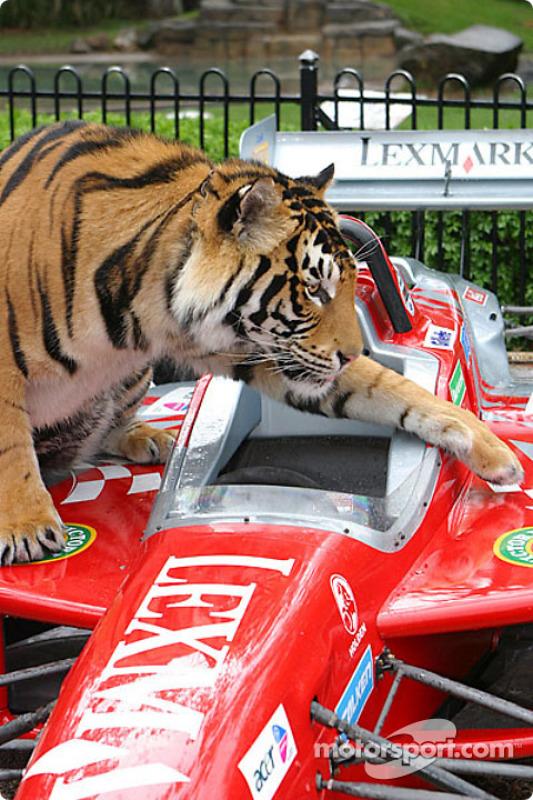 Un tigre regarde une voiture de course