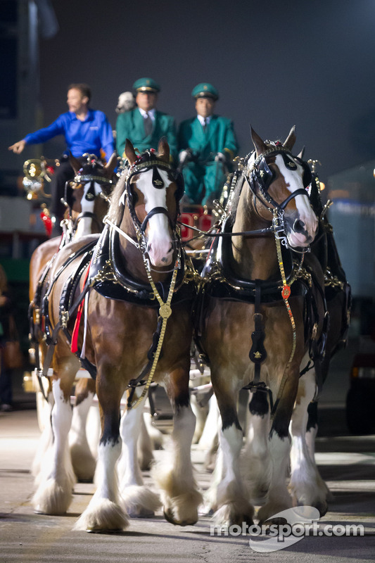 The Budweiser Clydesdales