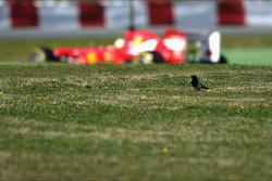 Felipe Massa, Ferrari F138 passes a bird in the grass