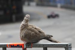一只鸽子正在看镜头