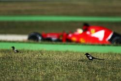 Esteban Gutierrez, Ferrari SF15-T Piloto de pruebas y de reserva pasa a las aves en el pasto