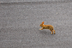 A rabbit crosses the track