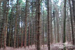 Pine trees in the Eifel Forest
