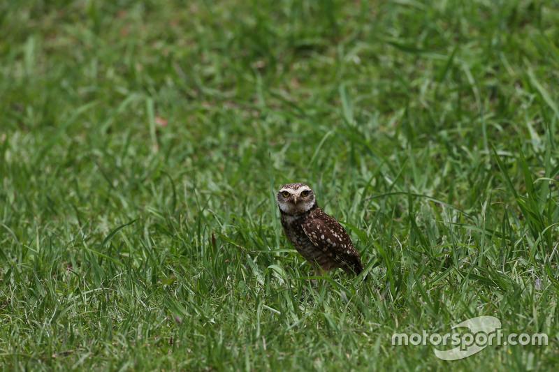 Uma coruja visitou os pilotos em Interlagos